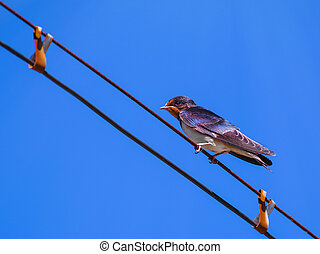Swallow On The Wire Against The Blue Sky