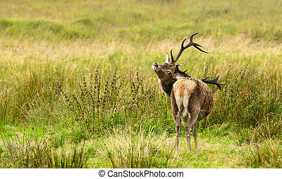 Wild Deer - Wild deer in the  Highlands of Scotland.