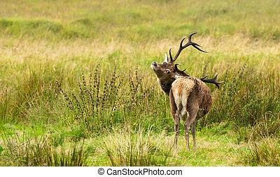 Wild Deer - Wild deer in the  Highlands of Scotland.