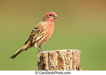 Male House Finch (Carpodacus mexicanus) perched with a...