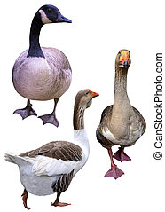 geese, ,
