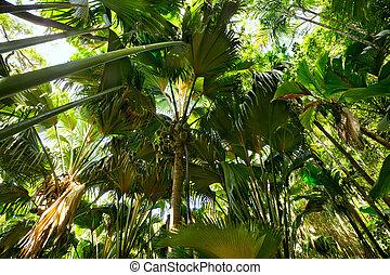 Coco de Mer palms - Tropical rain forest with Coco de Mer...