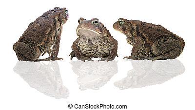Toads - A trio of toads in serious discussion
