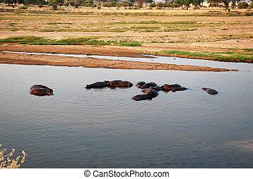 One day safari in Tanzania - Africa - Hippos