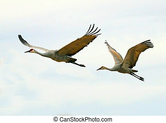 Sandhill Cranes Flying - Two sandhill cranes (Grus...