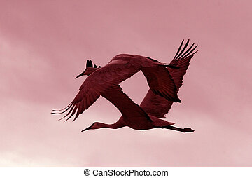Crane Ballet - Sandhill cranes (Grus canadensis) perform an...