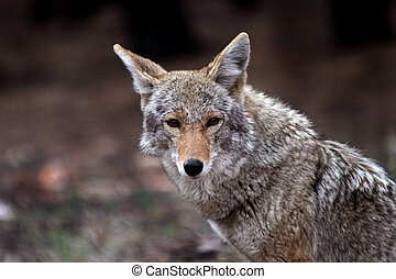 Coyote Canis latrans in the wild, but showing little fear of...