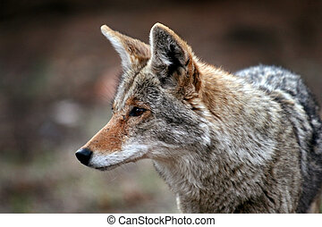 Coyote (Canis latrans) in the wildand showing little fear of...