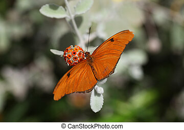 Julia Heliconian Butterfly - Orange butterfly (Julia...