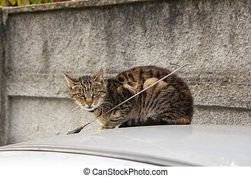 domestic cat on top of a car - striped domestic cat standing...