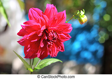 Crimson dahlia flower closeup