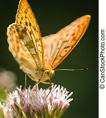 Butterfly - Closeup of Silver-washed Fritillary Argynnis...