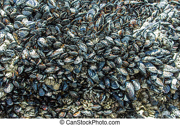 Mussels growing on tide pool rocks - Mussels growing on wet...