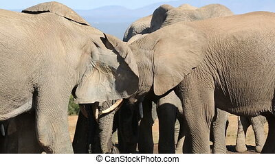 African elephants interacting - Close-up of African...