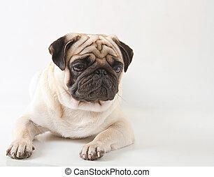 Pug, cão, isolado