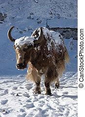 Himalayan yak going for warm sunlight, Nepal - Yak at Gokyo...