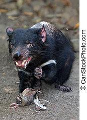 Tasmanian devil - Tasmanian Devil (Sarcophilus harrisii) eat...