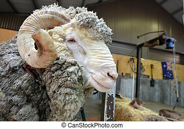 Male Merino sheep sheep Australian Sheep shearing farm in...