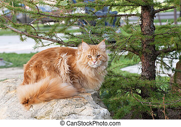 Red Maine Coon cat on rocks - The Maine Coon, also known as...