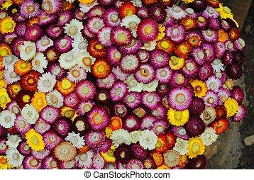 Strawflower - everlasting flower