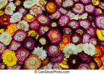 Strawflower - everlasting flower
