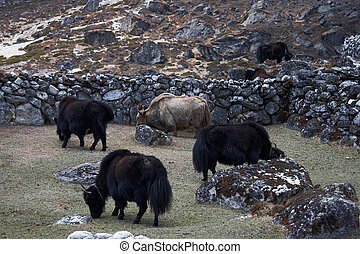 Grazing yaks, Everest region, Himalayas, Nepal