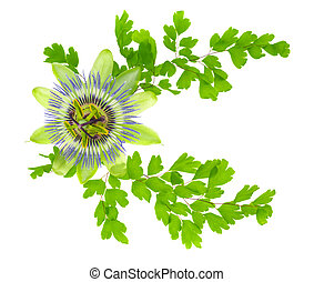 passion flower and crossed young green fern branches is...