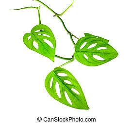 bonito, jovem, verde, monstera, (var., expilata), ramo,...