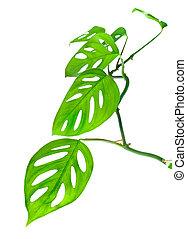 bonito, jovem, isolado, monstera, (var, verde, expilata),...