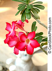 Desert rose flower - flower,Desert rose flower ,impala lily...