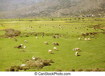 Large flock of sheep in the mountains