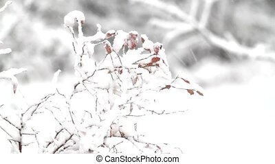 Snow covered leaves of blueberry - Video of snow covered...