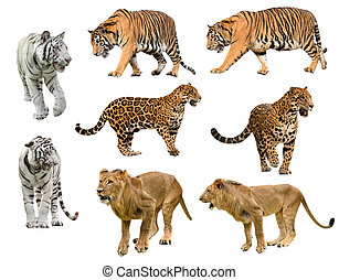 collection of big cat panthera isolated on white background...