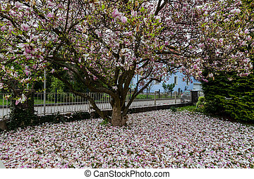 magnolia flower in spring - a beautiful blooming magnolia...
