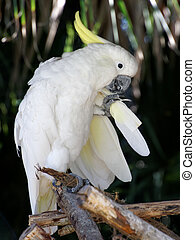 Cockatoo Grooming Its Tail Feathers - White parrot Cockatoo...