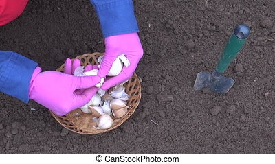 gardener planting garlic in garden vegetable bed