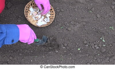 planting garlic in garden vegetable