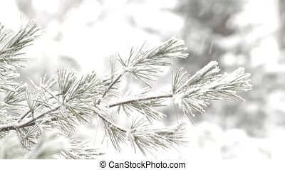 Long needle pine tree in snowstorm - The branches of a long...