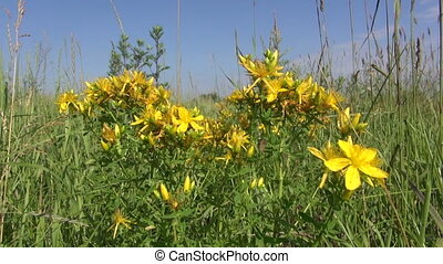 St Johns wort medical flowers - St Johns wort medical...