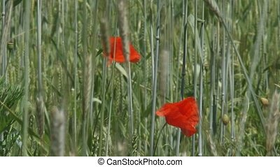 Poppies blooming in corn field - rye - secale cereale -...