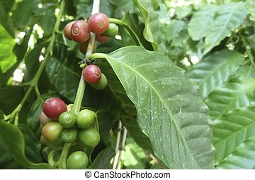 Costa Rican coffee plant - I took a beautiful picture of a...