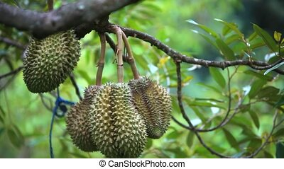 Durians hanging from tree, king of fruit in Thailand HD...