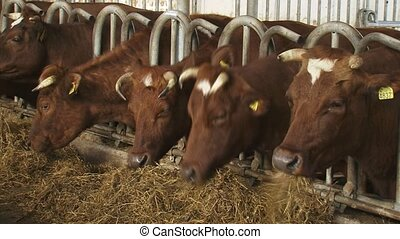 Dutch Deep Red cattle feeding on hay in deep litter stable.