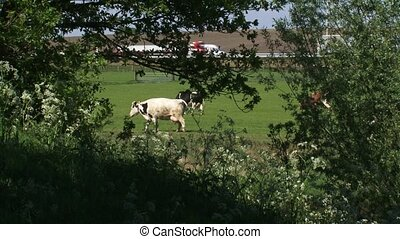 Dutch Holstein cattle in pasture with highway in background...