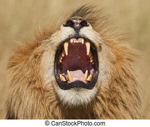 roaring lion - Mature male lion with well developed mane...