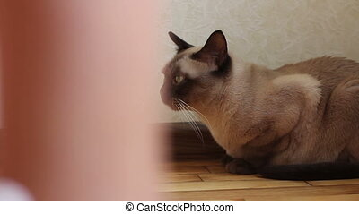 Siamese cat. Dolly shot - Siamese cat in flat. Dolly shot
