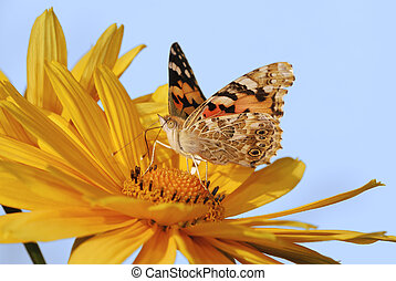 Painted Lady butterfly on a yellow marguerite flower....