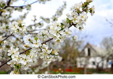 flowering tree apricot closeup and house in the background