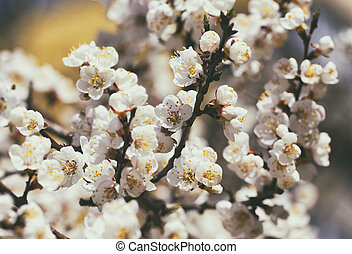 flowering tree apricot closeup and sky in the background