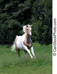 Palomino Horse - Horse gallops with fine bridle portrait...